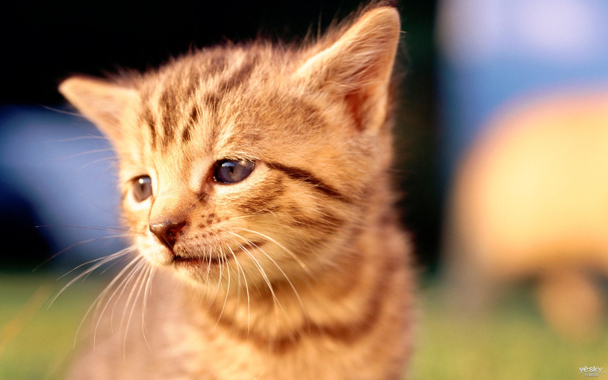 猫生气的时候,会使劲地摇尾巴.